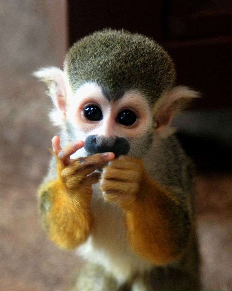 squirrel-monkey-png[1]