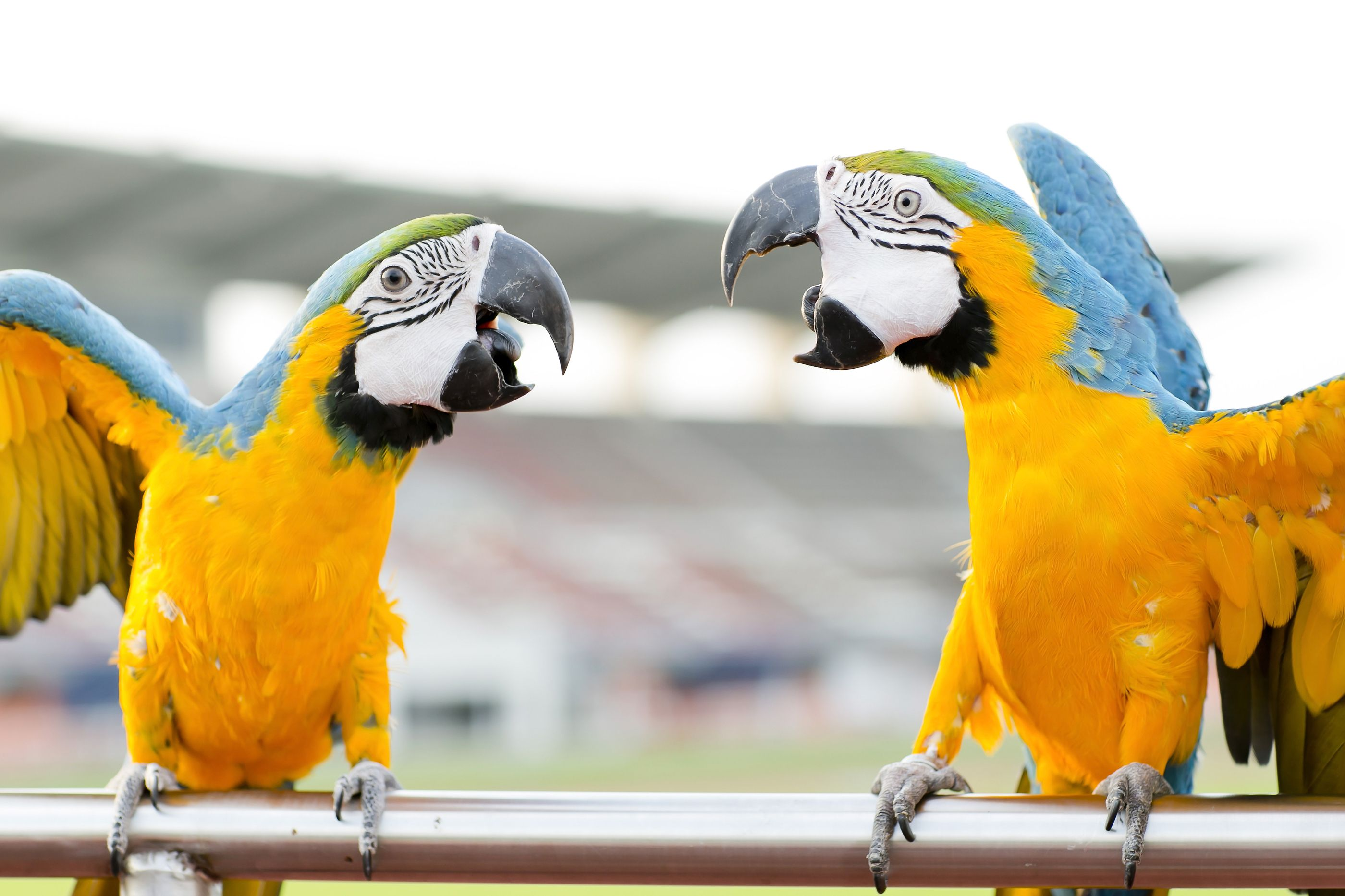 7. Blue-and-Yellow Macaw