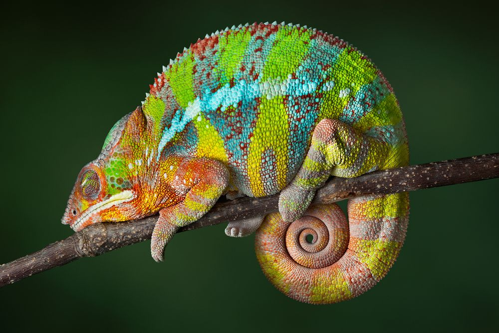 9. Chameleons change color to blend in with surroundings