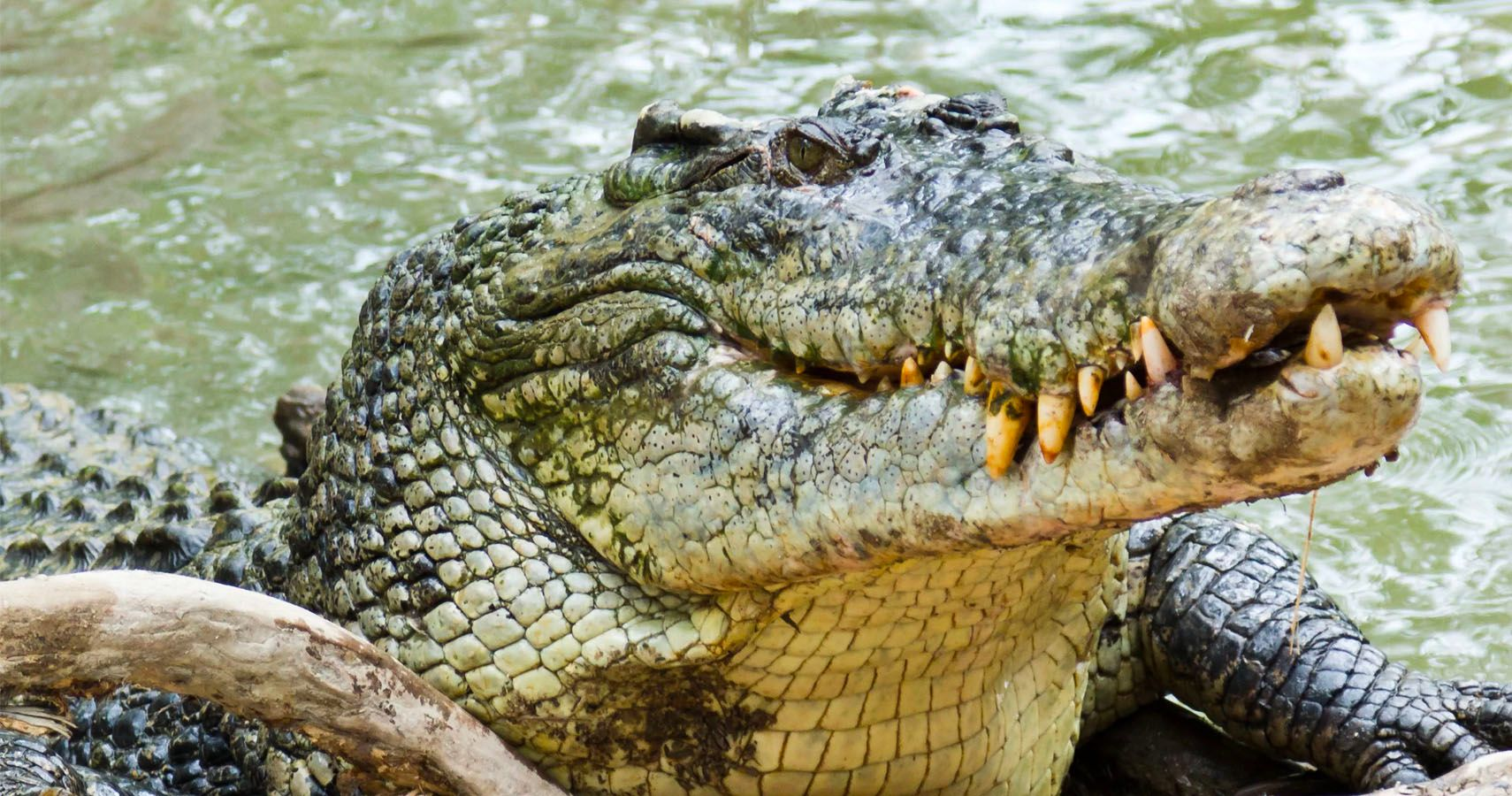 Crocodile attack video